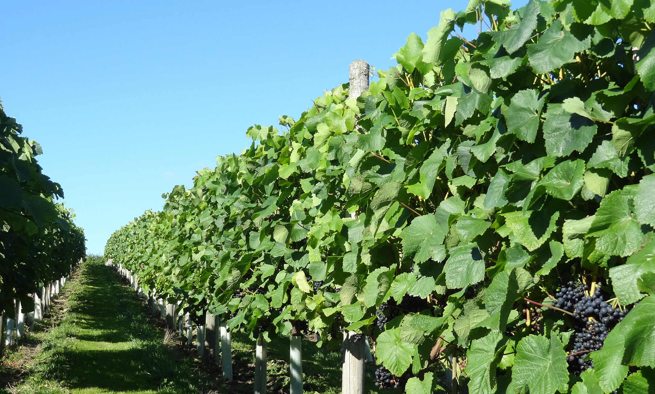 Ryedale Vineyards in North Yorkshire